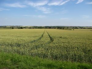 Wheat fields in East Anglia
