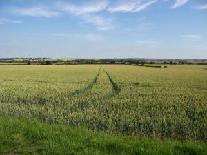 Wheat fields in East Anglia